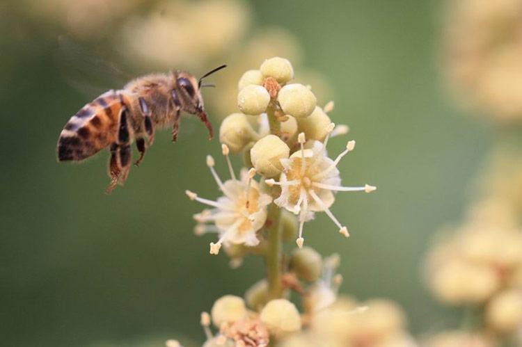 Mật ong hoa nhãn có tác dụng gì